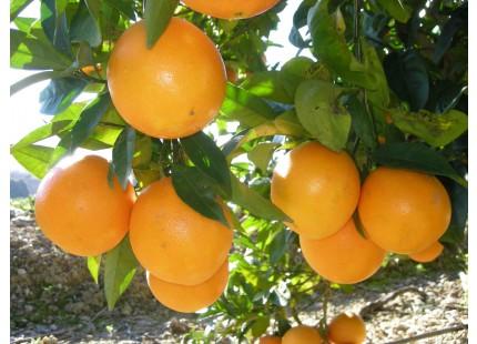 Naranja Lane-Late para Zumo 10kg