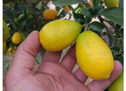 Limequat 500g ✔