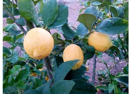 Limones MINI 1kg