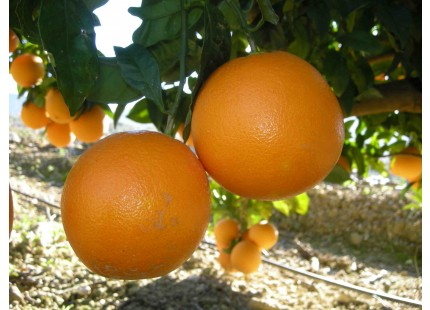 Naranja Washington Navel Mesa 10kg