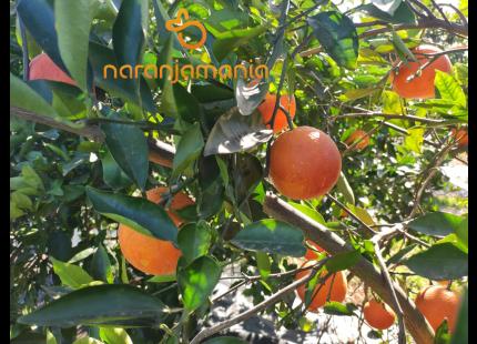 Naranja SANGUINA DULCE caja de 9kg