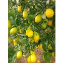 Limequat 250g