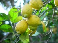 Limones caja de 14 Kg