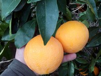 1 Sandía y hasta 19kg de Naranja para Zumo✔