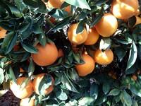 Caja con 1 Melón+1 Sandía y hasta 19kg de Naranja de Zumo✔