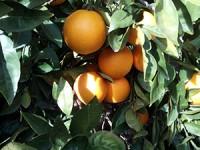 2 Sandías y hasta 14kg de Naranja para Zumo✔