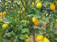 Limequat 500g