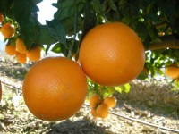 Naranja Washington Navel Mesa 20kg