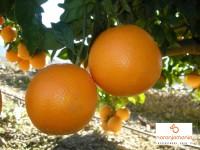 Naranja Mesa 1kg ✔