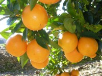 Naranja Washington Navel Zumo 10kg