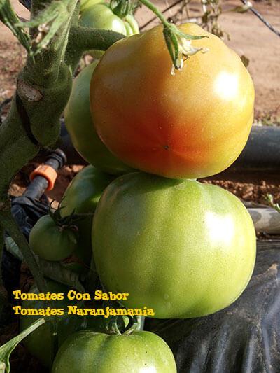 Comprar tomates online