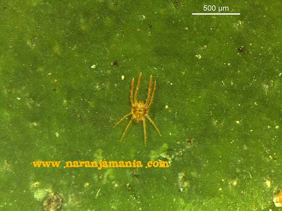 macho de Eutetranychus orientalis (naranjamania.com)