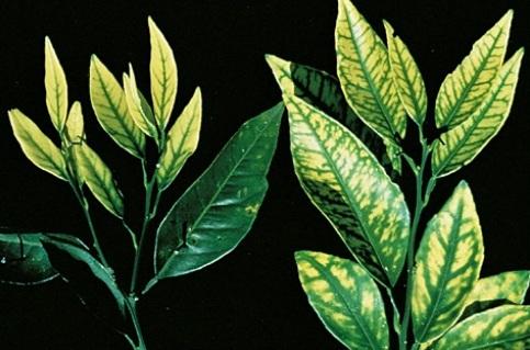 deficiencia acusada de zinc en citricos