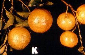 carencia de potasio en citricos