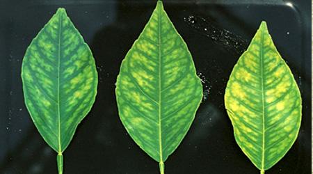 deficiencia de manganeso en citricos