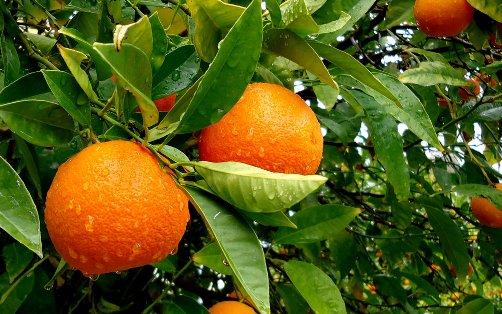 Naranjas online directamente del agricultor