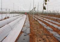 Proceso Plantación Tomate Valenciano