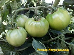 Planta de tomate valenciano